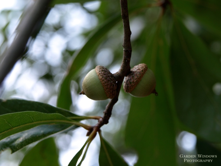 Acorn by Garden Windows Photography