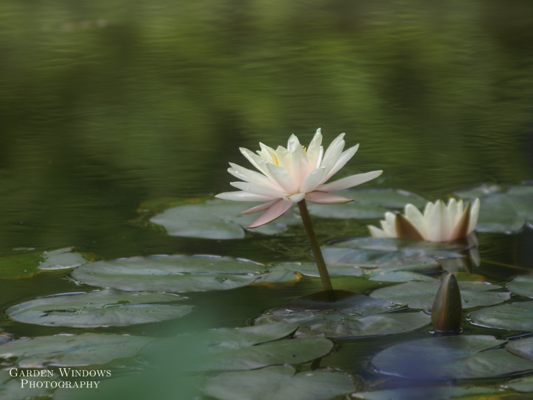 Lily Pond by Garden Windows Photography
