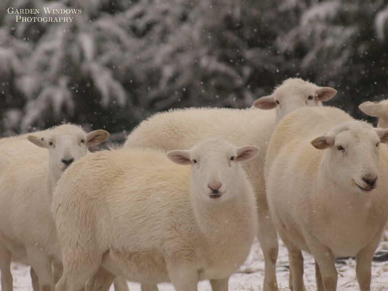 Sheep in Snow by Garden Windows Photography