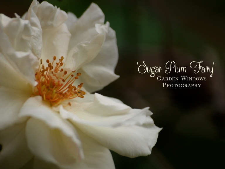 Sugar Plum Fairy by Garden Windows Photography