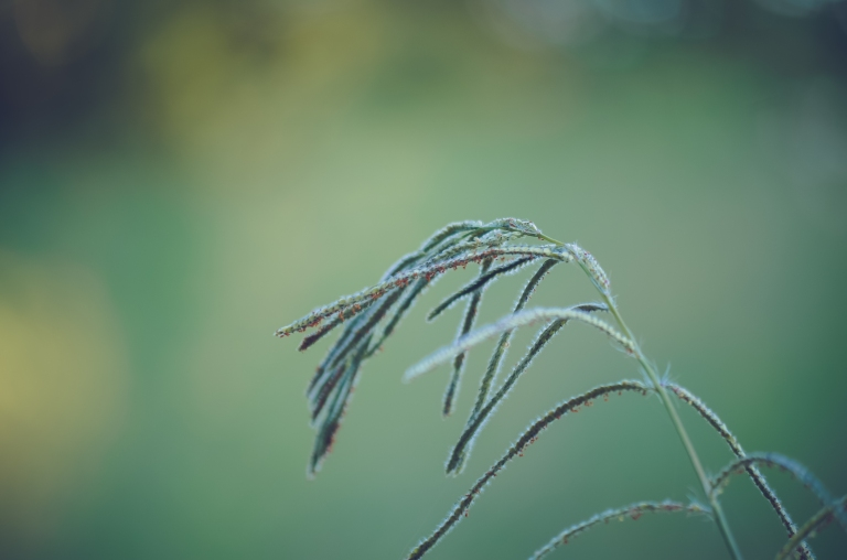 leaves of grass.lr